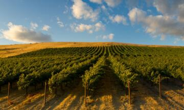 Washington Vineyards 750X450
